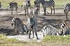 Zebra_Mara_Reserve_2018_Kenya_0173