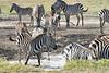 Zebra_Mara_Reserve_2018_Kenya_0169