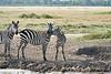 Zebra_Mara_Reserve_2018_Kenya_0195