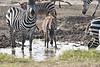 Zebra_Mara_Reserve_2018_Kenya_0191
