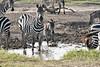 Zebra_Mara_Reserve_2018_Kenya_0185
