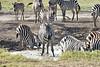 Zebra_Mara_Reserve_2018_Kenya_0174