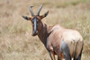 Topi_Birth_Babies_Tangulia_Mara_Reserve_2018_Kenya_0291
