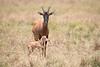 Topi_Birth_Babies_Tangulia_Mara_Reserve_2018_Kenya_0221
