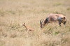 Topi_Birth_Babies_Tangulia_Mara_Reserve_2018_Kenya_0240