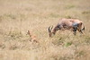 Topi_Birth_Babies_Tangulia_Mara_Reserve_2018_Kenya_0239