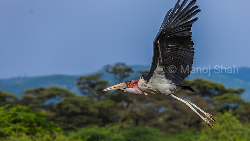 Marabou stork in flight in Masai Mara