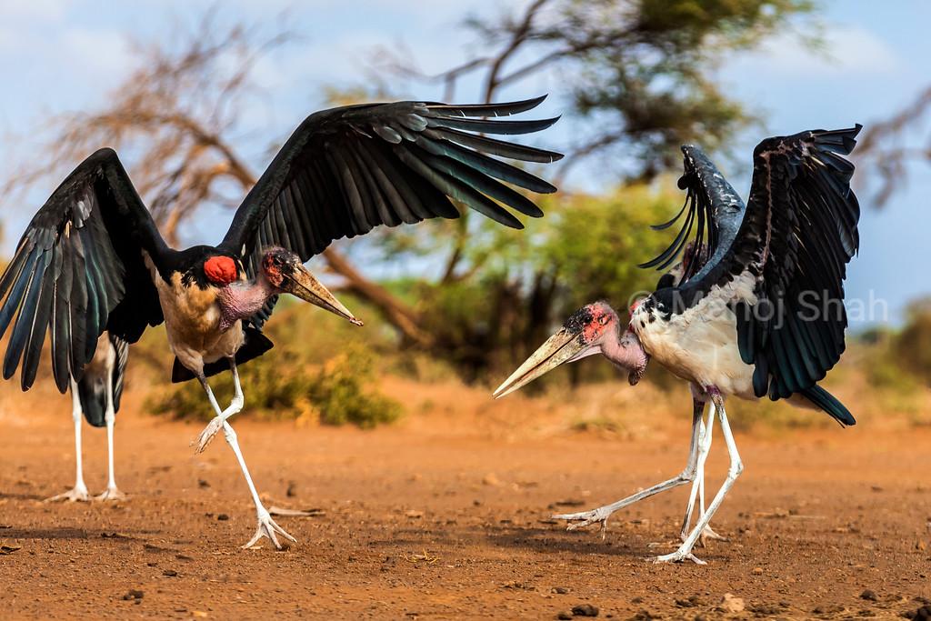 Marabou storks fighting