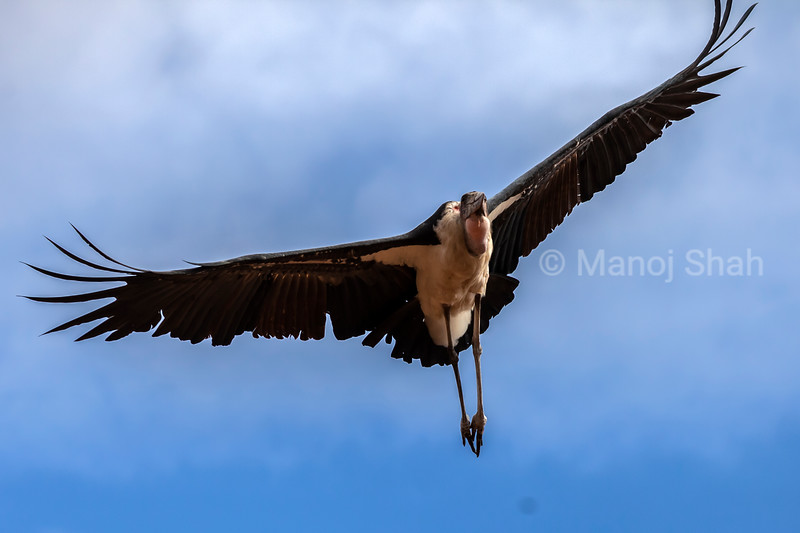 Marabou stork in flight, starting to land in Amboselli National Reserve, Kenya
