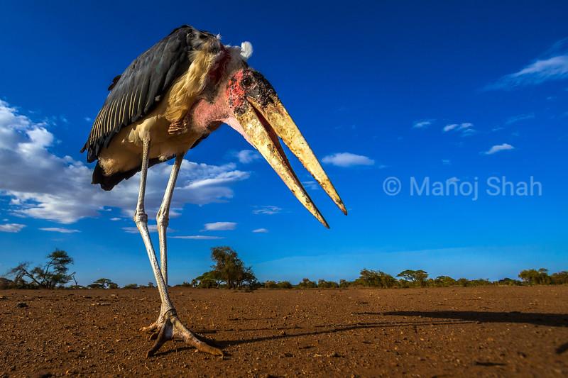 Marabou stork in the early morning sun in Maai Mara