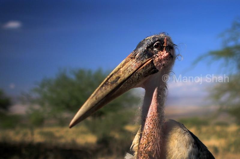 Marabu stork In early morning sunlight at Lake Natron, Tanzania