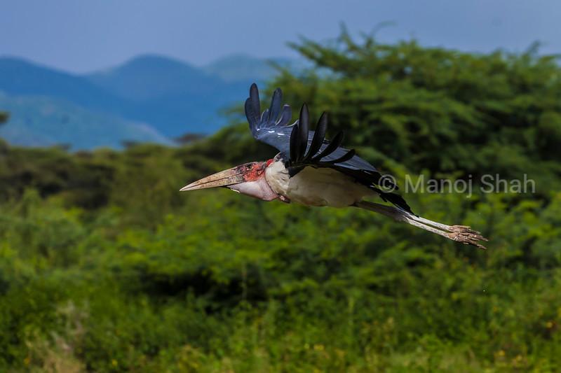 Marabou stork landing in Masai Mara
