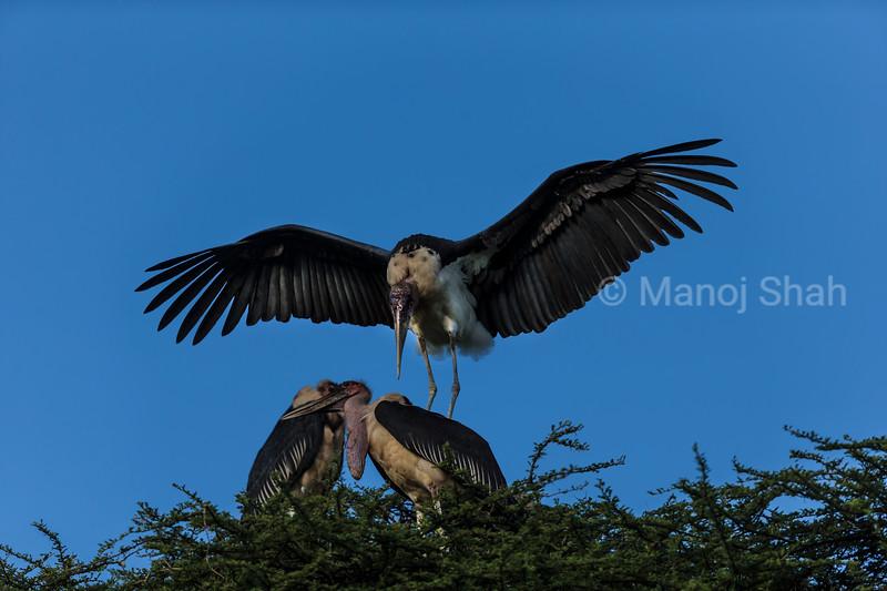 Marabu Storks courting