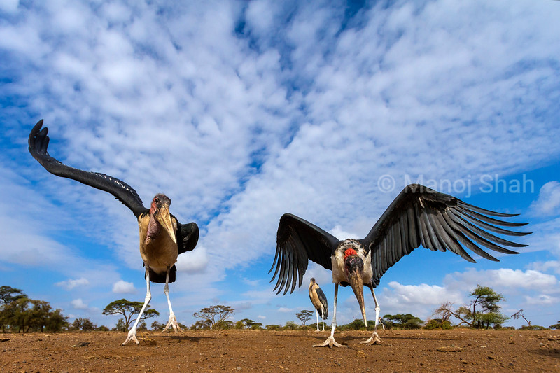 Marabou storks  in early morning sun at Amboseli National Reserve, Kenya