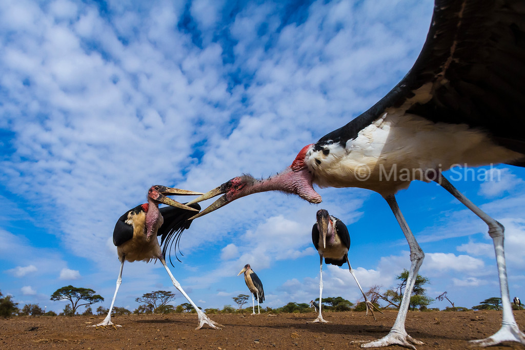 To get an idea how a mongoose would view marabou storks, a special camera system was placed where the marabou storks were used to scrap feeding in the Masai Mara. This image was captured one morning when the storks came.