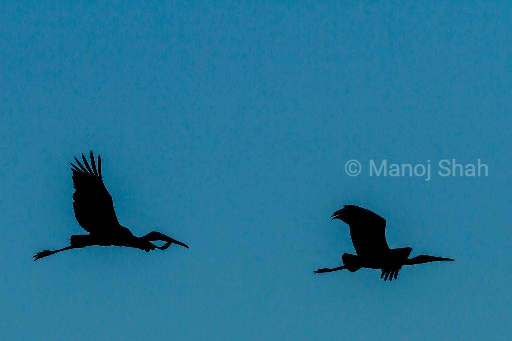 Yellow billed storks in flight