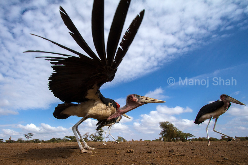 Marabou stork in early morning sun at Maai Marali National Reserve, Kenya. In the process of taking off.