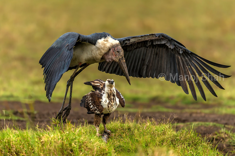 African Fish Eagle challenges Marabou storks over a catfish catch and scares off the Marabou stork in Masai Mara