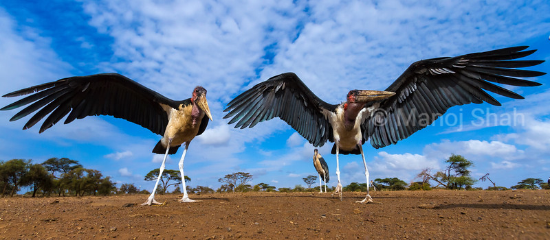 To get an idea how a mongoose would view marabou storks, a special camera system was placed where the marabou storks were used to scrap feeding in the Masai Mara. This image was captured one morning when the storks came. Due to the ongoing drought in Masai Mara, there was a scarcity of food which made the storks squabble.