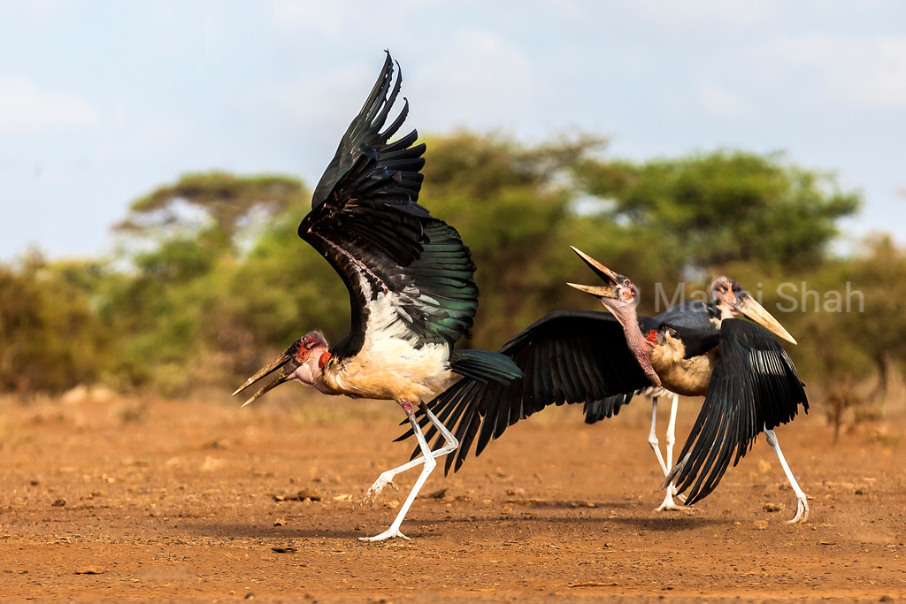 Marabou storks fighting