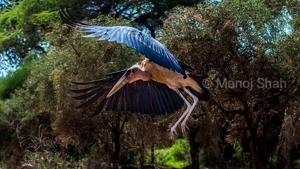 Marabou stork landing