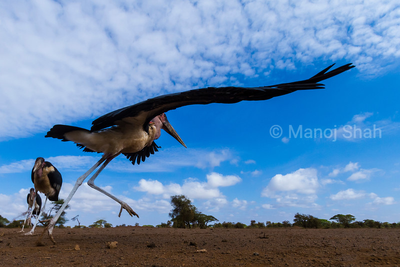 To get an idea how a mongoose would view marabou storks, a special camera system was placed where the marabou storks were used to scrap feeding in the Masai Mara. This image was captured one morning when the storks came. Due to the ongoing drought in Masai Mara, there was a scarcity of food which made the storks squabble. Here you can see a stork chasing another away.