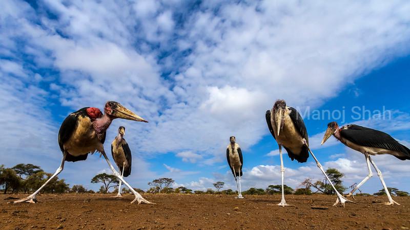 Marabou storks  in early morning sun at Masai Mara National Reserve, Kenya