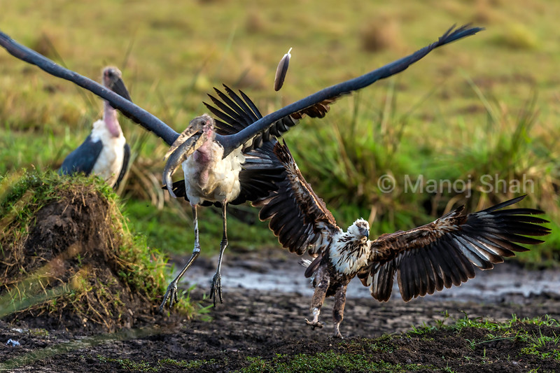 Marabou stork with a catfish in the beak gets scared away fron a descending African Fish Eagle in Masai Mara.