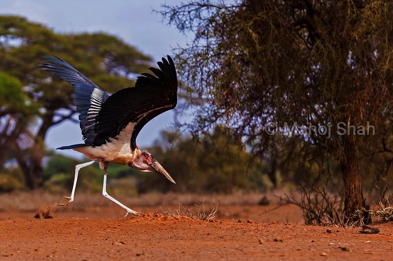 Marabou stork running to take off in Masai Mara