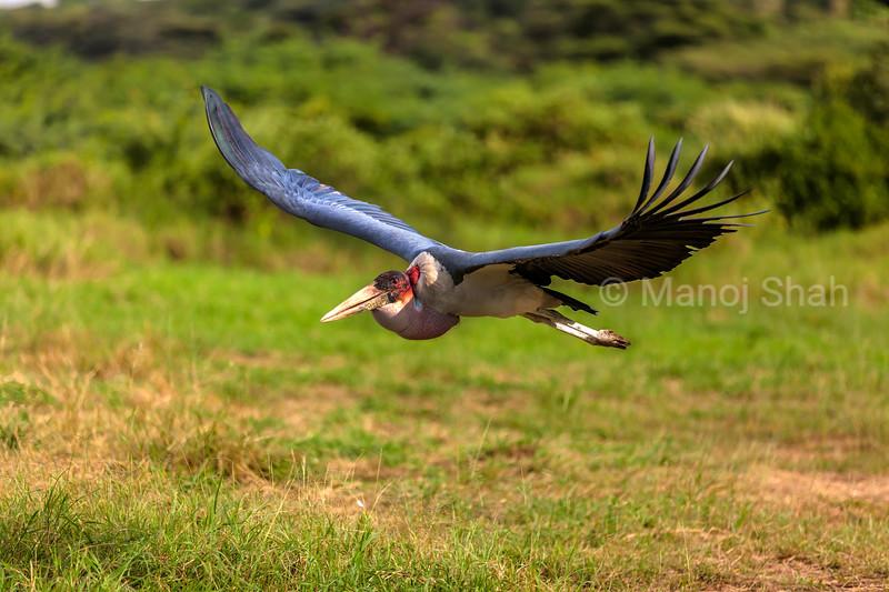 Marabou stork landing from a flight in Masai Mara,