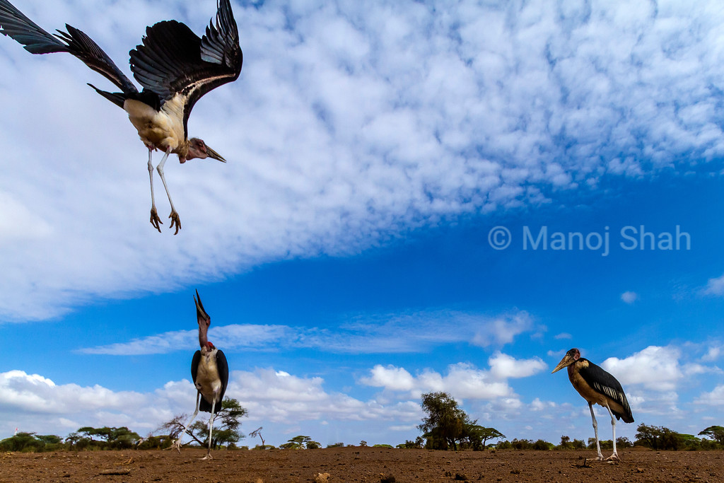 Marabou stork in early morning sun at Masai Mara National Reserve, Kenya. In the process of landing.