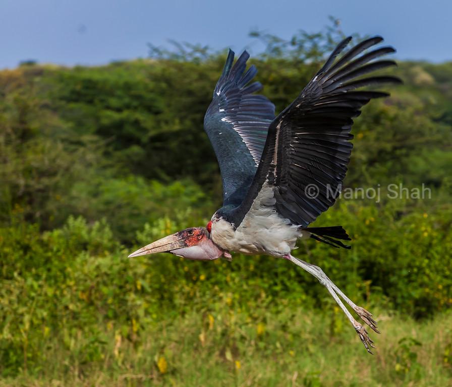 Marabou stork landing in Masai Maram