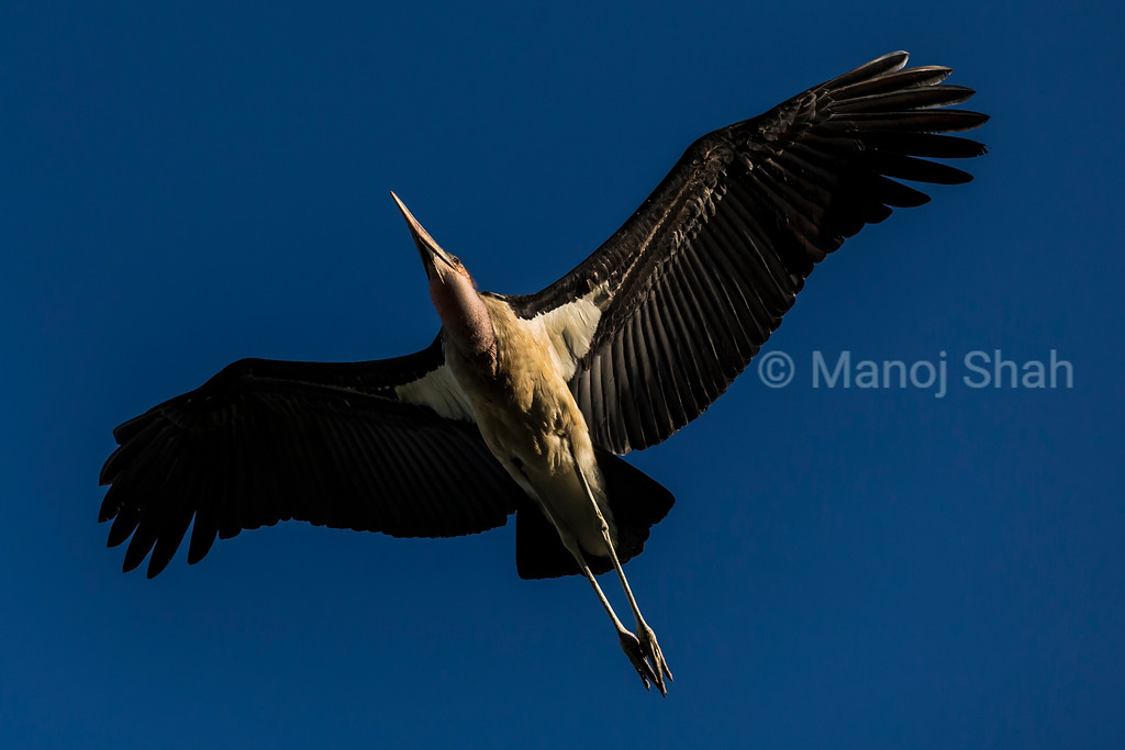 Marabu stork in flight