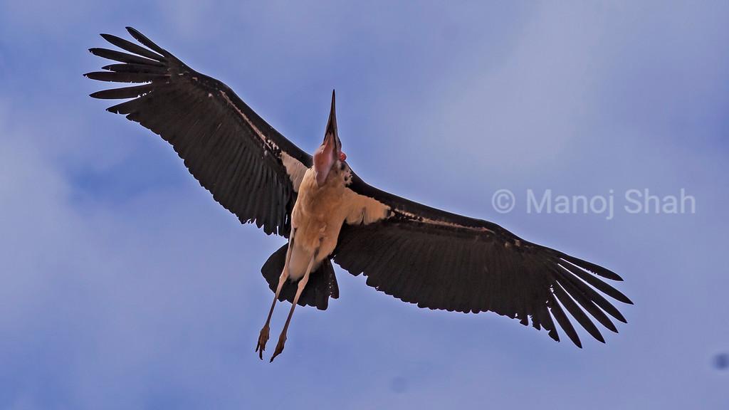 Marabou stork in flight over Amboseli National Reserve, Kenya