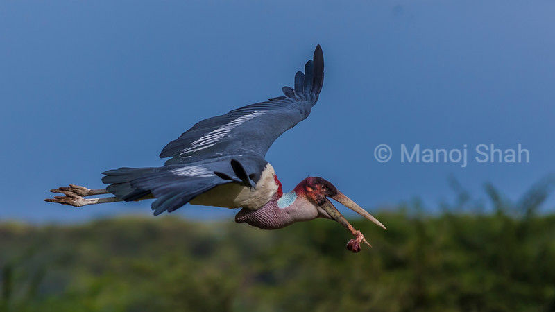 Marabou stork in flight in Masai Mara carrying a bone in its beak.