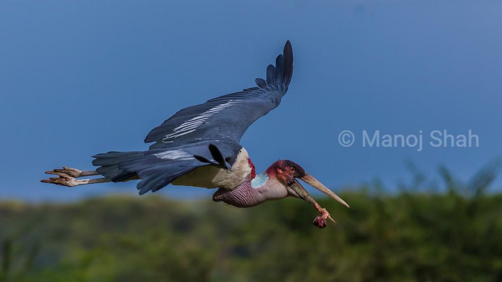 Marabou stork in flight in Masai Mara carrying a none in its beak.
