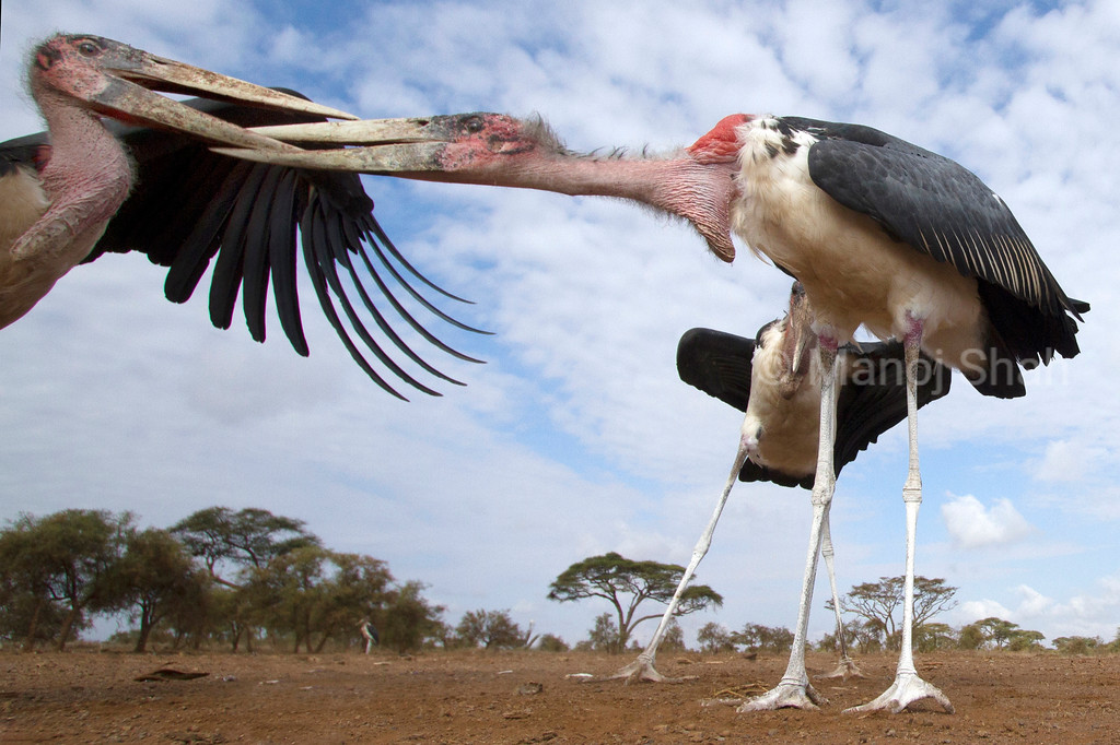 Marabou storks  in early morning sun at Masai Mara National Reserve, Kenya. In the process of squabbling.
