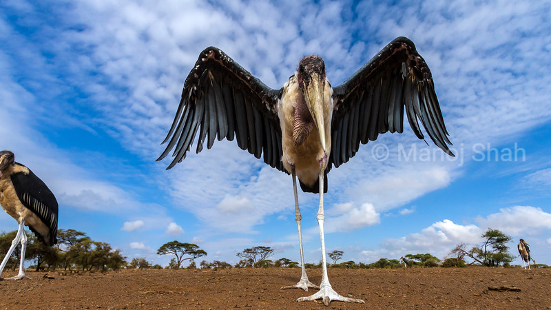 Marabou stork in early morning sun at Masai Mara National Reserve, Kenya. Wings spread by the Marabou Stork.