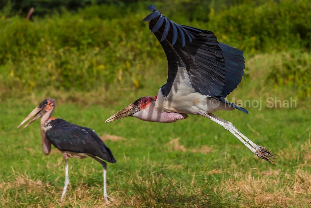 Marabou stork taking off for a flight.