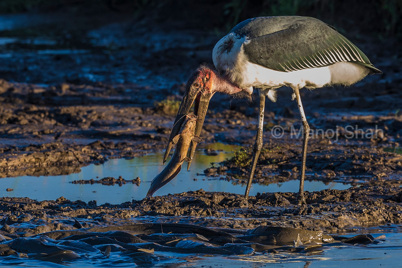 Marabou stork catching a cat fish