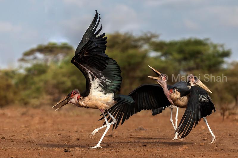 Marabou storks quarelling in Amboselli National Reserve, Kenya