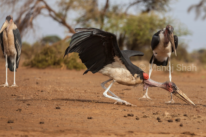 Marabou stork examining bone remains on ground in Amboselli National Reserve, Kenya.