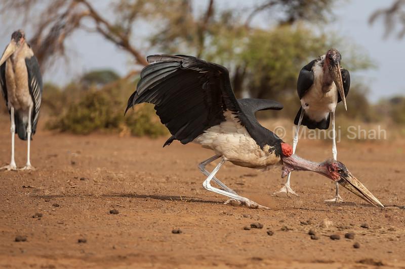 Marabou stork examining bone remains on ground in Amboselli National Reserve, Kenya.