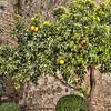 Orange  Tree  Marbella