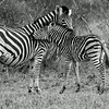 Mother Zebra and  her Colt