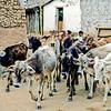 Boys herding cows (Niños pastoreando vacas), Ajoya, Sinaloa, Mexico