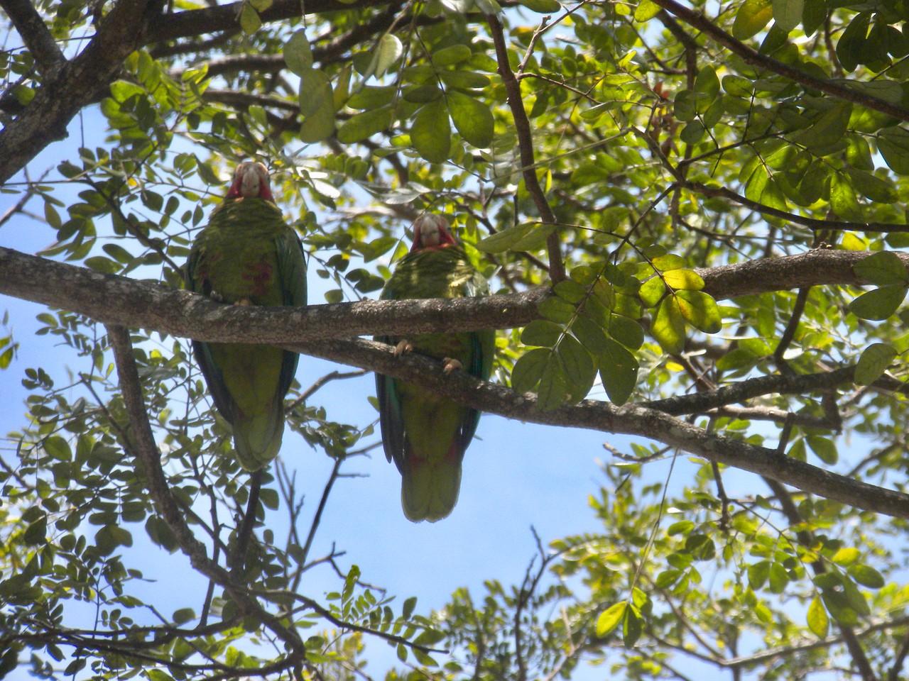 Cayman Parrot (Cuban Parrot)