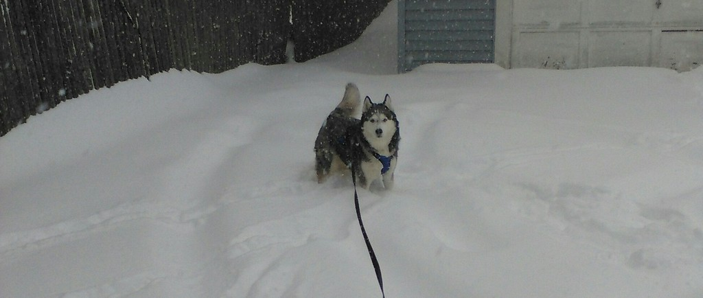 . Photo Courtesy Sandi Jaye Sandi Jaye\'s husky was loving the snow on Tuesday, March 14, 2017, in Canastota.