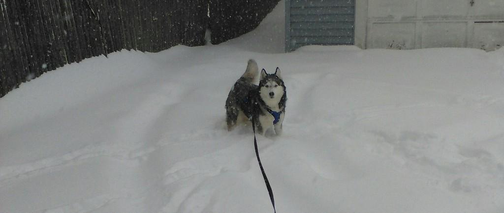 . Photo Courtesy Sandi Jaye Sandi Jaye\'s husky was loving the snow on Tuesday, March 14, 2017, in Canastota.