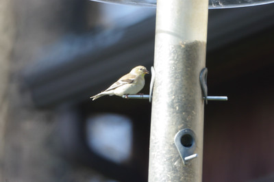 Finch on the Feeder